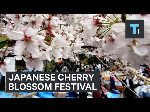 Going To A Cherry Blossom Festival In Japan
