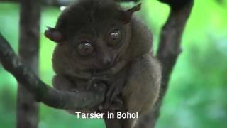 보홀의 안경원숭이 tarsier in bohol