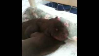 5day Old Doberman Pinscher Puppies Red