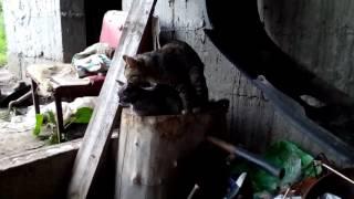 Деревенские коты занимаются сексом