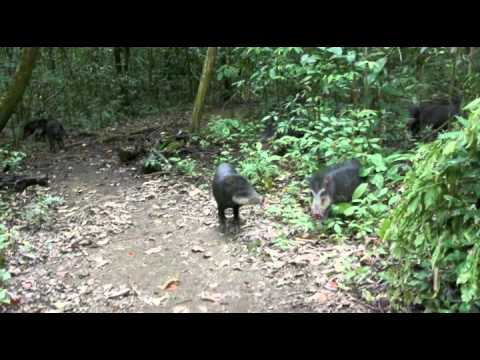 Close call with a pack of peccaries