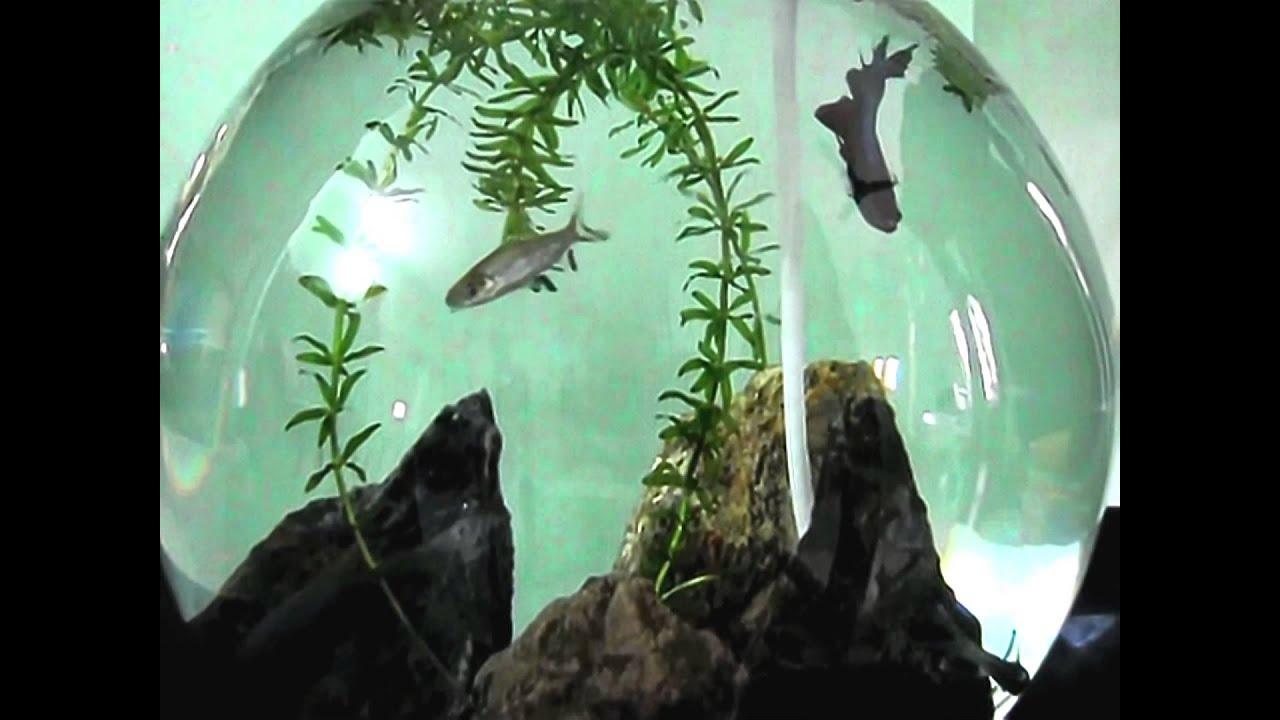Fish Tank Betta Vs Sharks Wwwimagessurecom