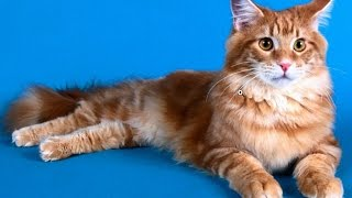 Коты Мейн куны любят купаться.Порода котов мейн кун.