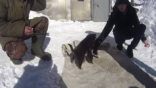 Щенки восточно сибирской лайки.