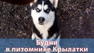 Щенки сибирской хаски - будни в питомнике Крылатки
