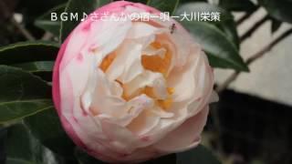秋から咲き始める山茶花(さざんか)と大川栄作の♪さざんかの宿♪をコラ...