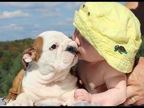 Hilarious Bulldog Puppies And Babies
