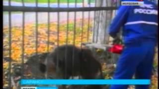 В Саранске кабан застрял в школьном заборе