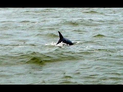 Dolphins in Absecon Inlet