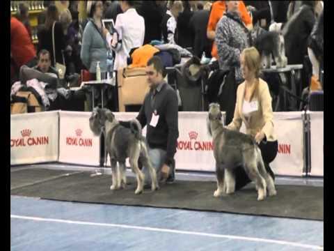 Международная выставка собак  Черноземье-2012 г.Воронеж, ринг шнауцеров перец с солью
