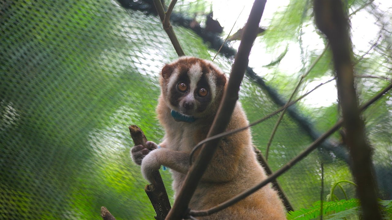 Record Number Of Slow Lorises Returned To The Wild