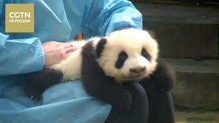 А вы знали, что пандам в Китае делают массаж? [Age0+]