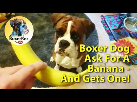 Boxer Dog Ask For A Banana 🍌 And Gets One! 😁 First Time Eating A Banana