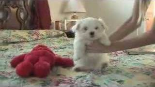 Maltese Puppies For Sale Maltese Puppies For Sale
