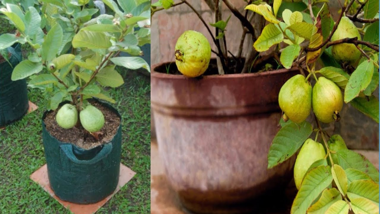 How To Grow Guava Trees In Pots