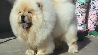 чау чау характеристика!!!!красивые собачки!!!