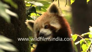 Cute Red Panda cleans his paws - India