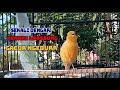 Sekali Dengar Kenari Lain Langsung Gacor Ngedur Di Jamin Ampuh Pancing Kenari Bisu Jadi Gacor  Mp3 - Mp4 Download