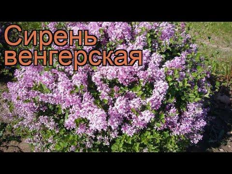 Сирень венгерская (syringa josikaea) 🌿 венгерская сирень обзор: как сажать, саженцы сирени