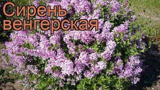 Сирень венгерская (syringa josikaea) ???? венгерская сирень обзор: как сажать, саженцы сирени