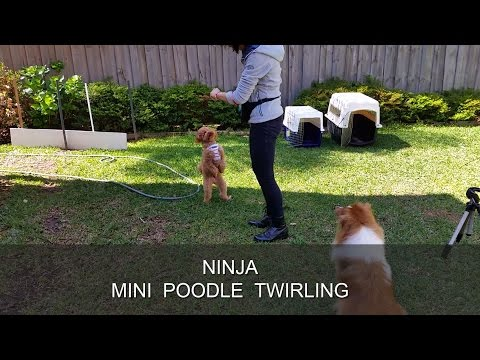 Ninja Warrior - Twirling Mini Poodle Tricks on two feet