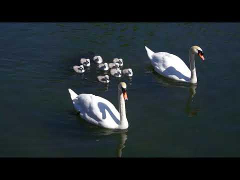 Swans With New Cygnets On Craiglockhart Pond, Edinburgh
