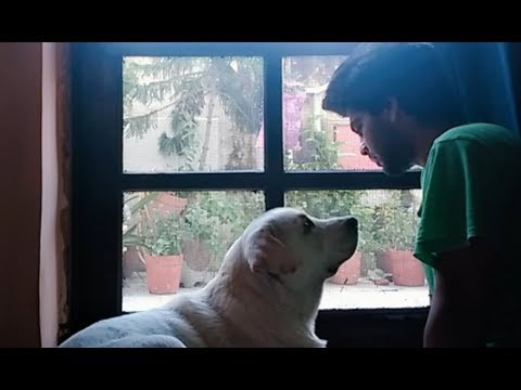 Labrador Dog Gets Emotional When Left Behind By Dad | Home Not Alone | Try Not To Cry |