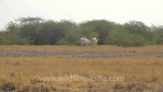 We are family - The wild Asses, Gujarat