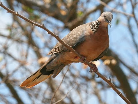 Calls of a Spotted Dove - HD Audio
