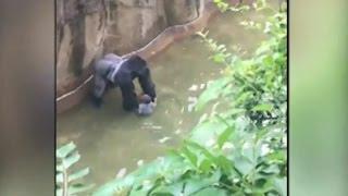 В США 3 х летний ребенок упал в вольер к обезьянам  Пришлось засрелить гориллу(В США застрелили гориллу, которая