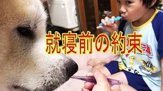 秋田犬#シェパード犬、就寝前は毎日歯磨き習慣ですね、 そうすけ君は響...