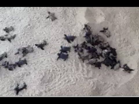 Baby Turtles Being Born on the Beach