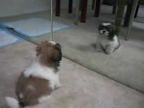 Gizmo The Shih Tzu First Bark 10 Weeks Old Youtube