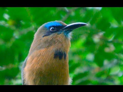 Honduras - Keel-billed Motmots