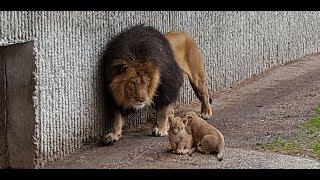 Første kuld løveunger møder deres far | Copenhagen Zoo
