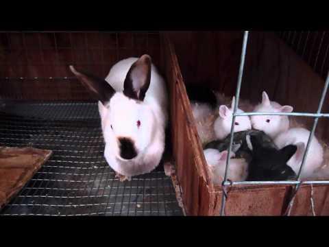 Breeding Rabbits FAQ