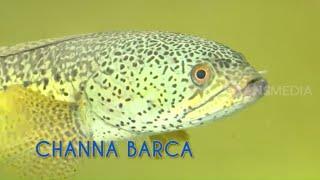 Mengenal Ikan Sultan: CHANNA, Si Gabus Hias Yang Lagi Ngehits | TAU GAK SIH (11/02/21)