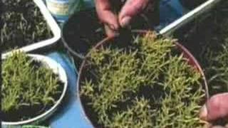 Cultivo de Bromélias - Alcantarea Imperialis - PARTE 1 de 5