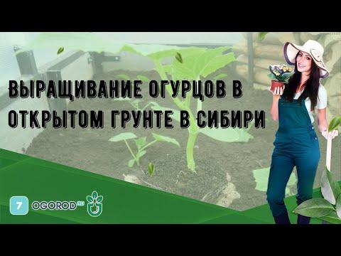 Выращивание огурцов в открытом грунте в Сибири