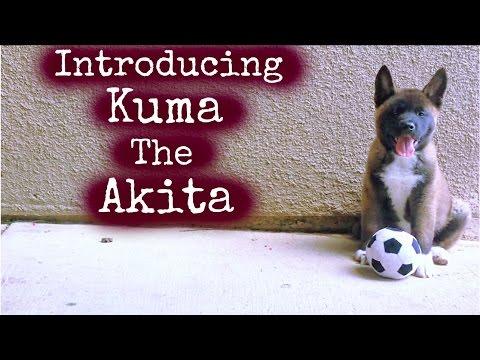American Akita - KUMA