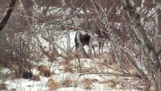 Видео охота на лосей с лайками