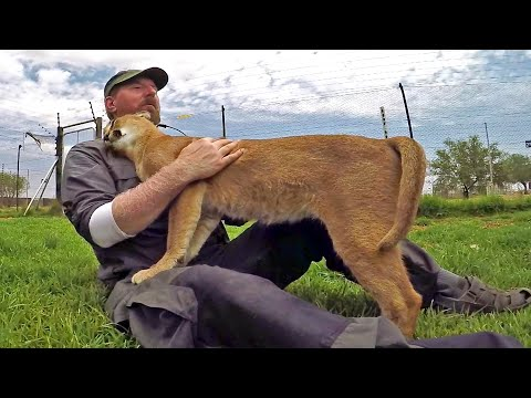 Stewie The Caracal Thinks I'm His Mother | African Cat Acts Like Kitten & Cub - Rubs Nurses & Purrs