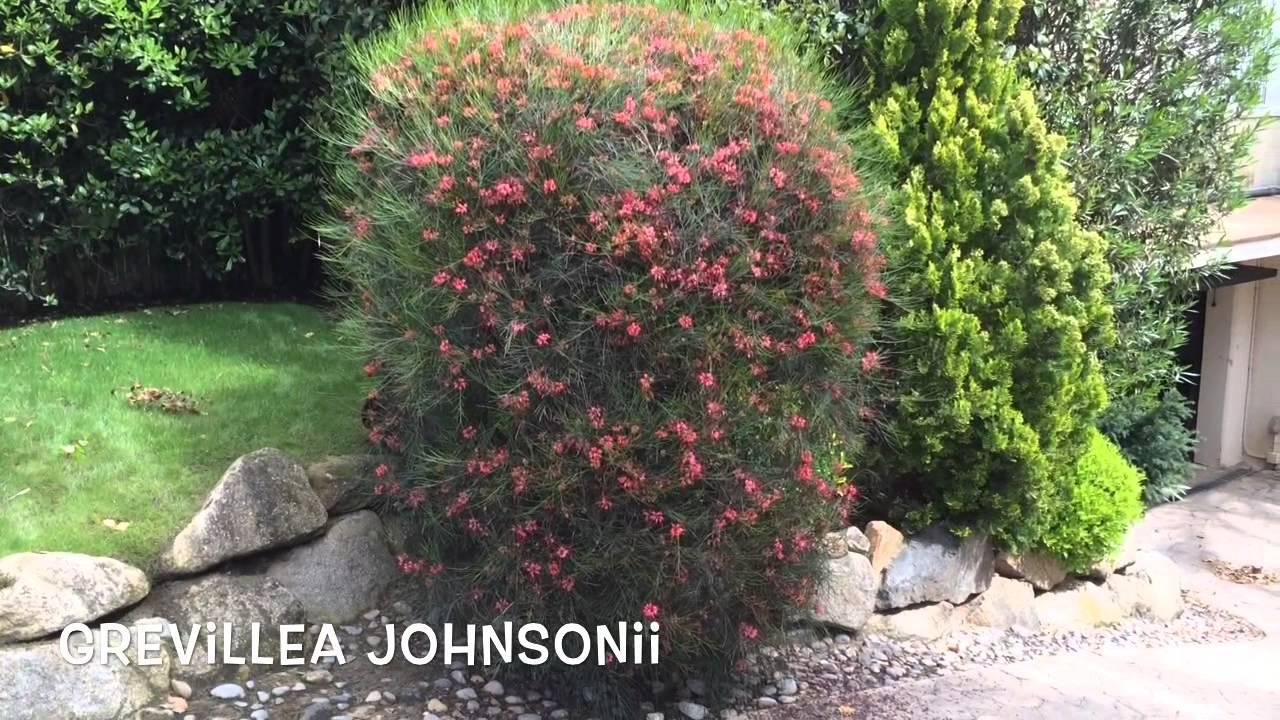 grevillea johnsonii garden center online costa brava. Black Bedroom Furniture Sets. Home Design Ideas