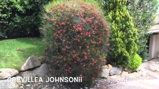 Grevillea johnsonii. Garden Center online Costa Brava - Girona.(Grevillea johnsonii. Garden Center online Costa Brava - Girona. Web: http://personalgardenshopper.es/, 2014-05-27T21:16:34.000Z)