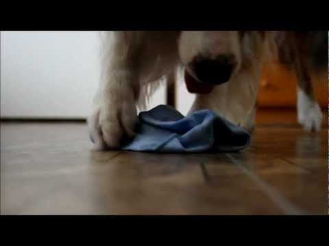 Useful dog tricks by australian shepherd Charlie