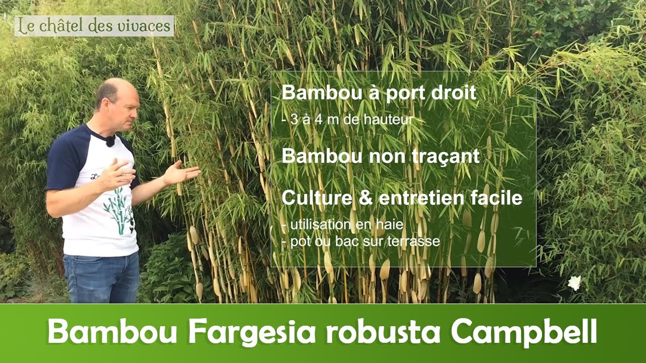 fargesia robusta campbell - youtube