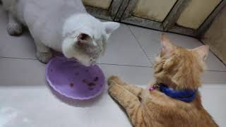He is so well mannered l, won't eat others food ! | Cat love | my Persian cat🥰
