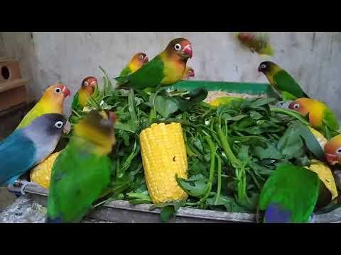 Makanan Burung Lovebird Youtube