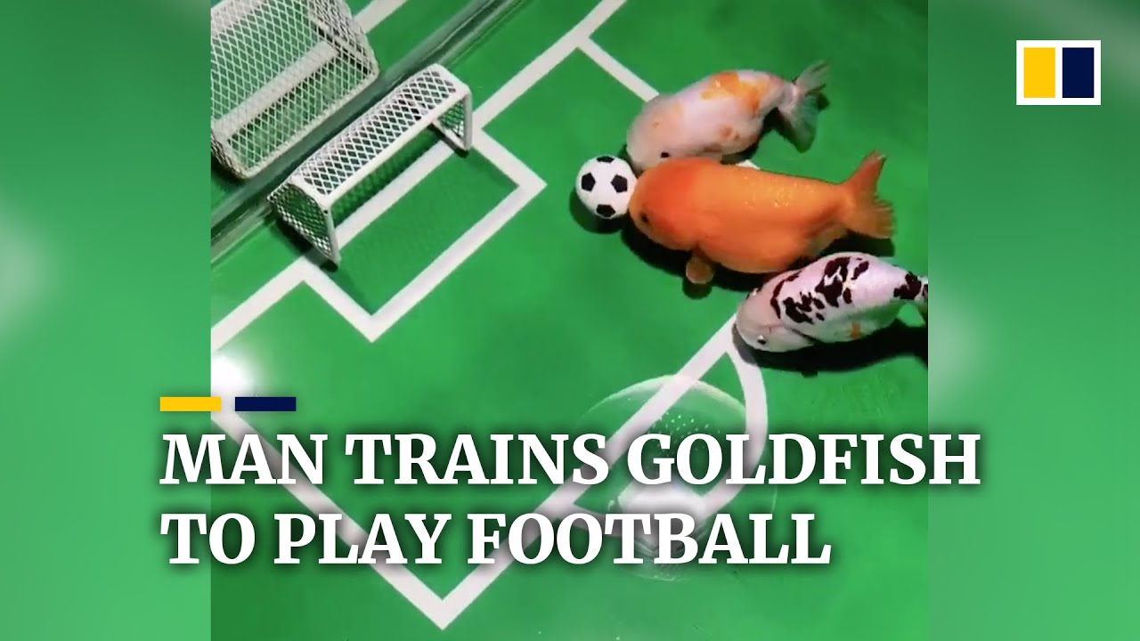 Chinese man trains goldfish to play football