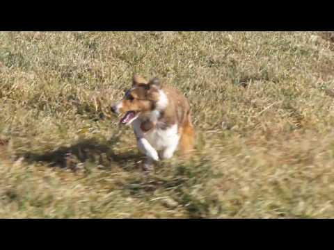 German Shepherds, Shetland Sheepdog Puppy, Mini Aussie gone wild!